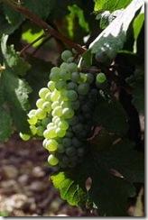 090513ivv wine tastingchenin blanc1 thumb wines of the world