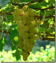 CheninBlancGrapes thumb Wine 101 The Major White Wine Grapes