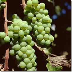 GrapesSemillon thumb Wine 101 The Major White Wine Grapes