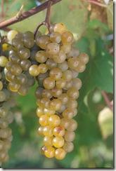 LaCrescentES100209small thumb Wine 101 The Major White Wine Grapes