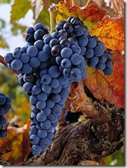 Tempranillo Grapes thumb Wine 101 Other Great Red Grapes