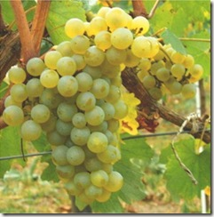 chardonnay grapes thumb Wine 101 The Major White Wine Grapes