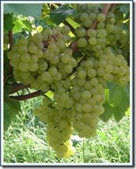 grapes thumb1 Botrytis cinerea….Grape Rot
