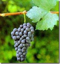 nebbiolo grapecluster thumb Wine 101 Other Great Red Grapes