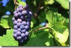pinot thumb Wine 101 The Big Red Grapes