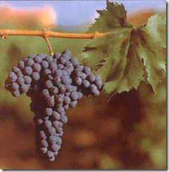 sangiovese grapes on the vine thumb Wine 101 Other Great Red Grapes