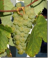 sauvignon3 thumb1 Wine 101 The Major White Wine Grapes