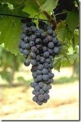 syrah thumb Wine 101 The Big Red Grapes