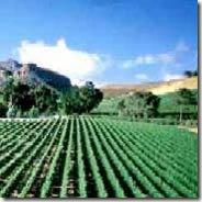 vineyards thumb WINE VINEYARDS