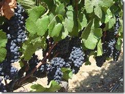 wine thumb1 Botrytis cinerea….Grape Rot