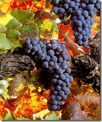 winecabernetgrapes thumb wine pics
