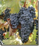 wineredgrapes thumb1 WINE TERMS