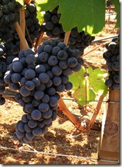 zin thumb Wine 101 Other Great Red Grapes